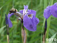 アヤメとハチ