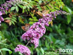 花と蝶(1)