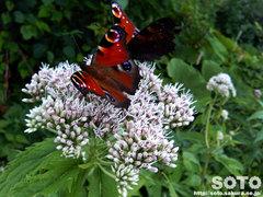 花と蝶(2)
