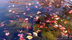 紅葉と金魚