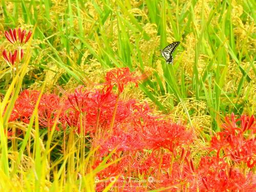 彼岸花と稲穂と蝶