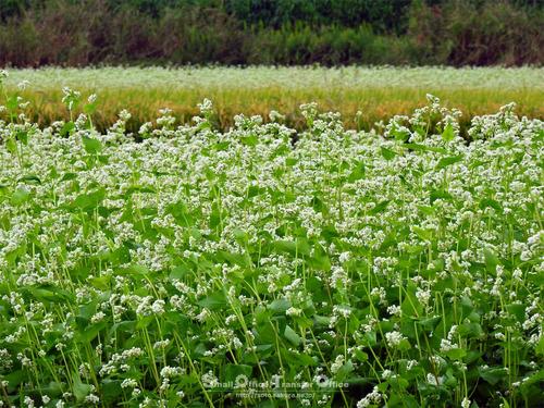 蕎麦の花と稲穂