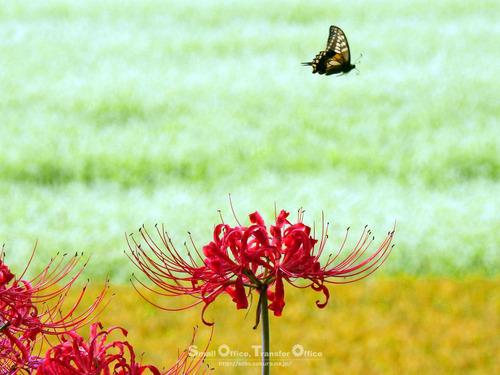 彼岸花と蝶(1)
