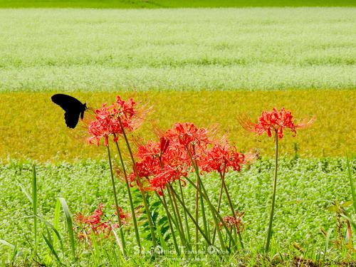 彼岸花と蝶(2)