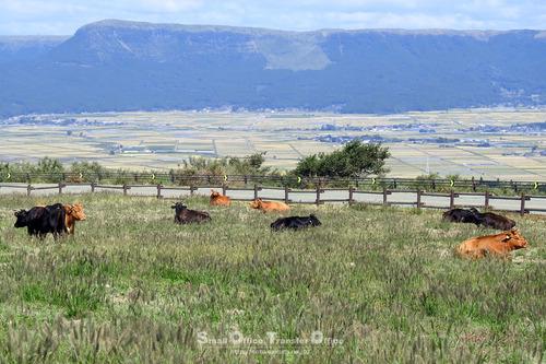 南阿蘇の放牧牛