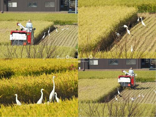稲刈りとサギ