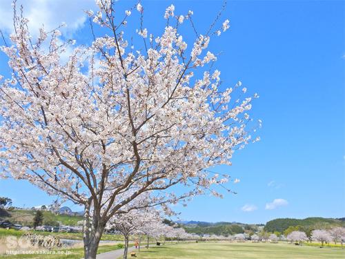 菊池の桜(清流公園)