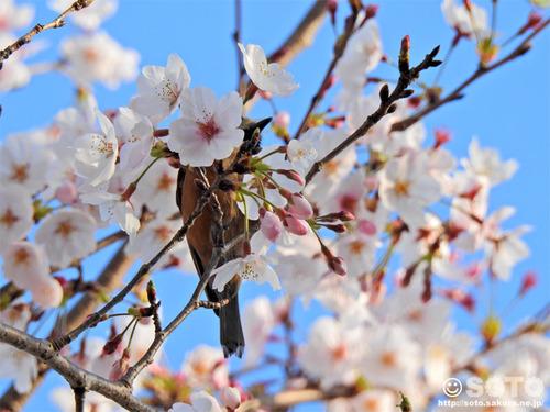 菊池の桜(2019/04/05-2)