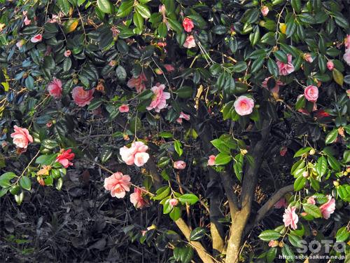 菊池の桜(2019/04/05-3)