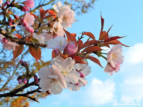 菊池の桜(2019/04/05-4)