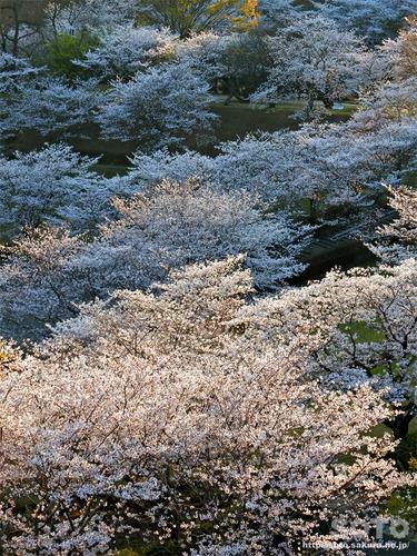 菊池の桜(2019/04/05-6)