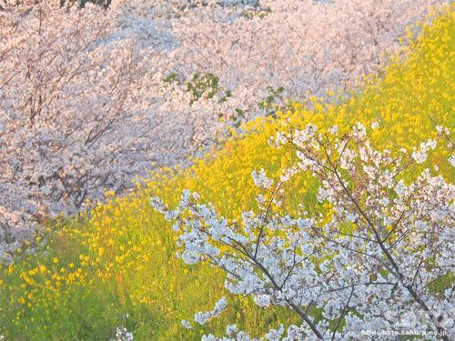 菊池の桜(2019/04/05-7)