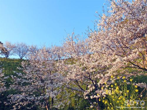 菊池の桜(2019/04/05-8)