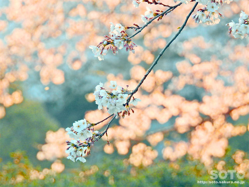 菊池の桜(2019/04/05-9)