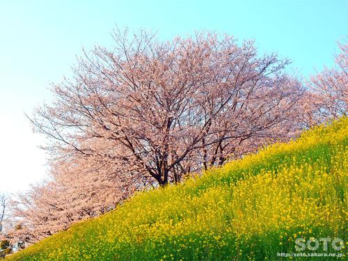 菊池の桜(2019/04/05-10)