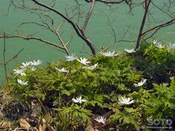 月山湖(キクザキイチゲ)