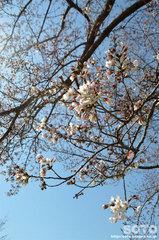 小萩園(桜)
