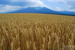 十勝岳連峰と麦畑