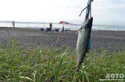 鮭釣り(3)