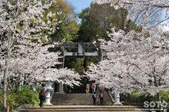 菊池の桜2014(菊池神社の鳥居)