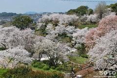 菊池の桜2014(城山公園)