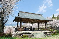 菊池の桜2014(観月楼)