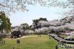 菊池の桜2014(菊池公園)