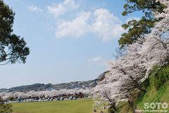 菊池の桜2014(菊池市民広場)