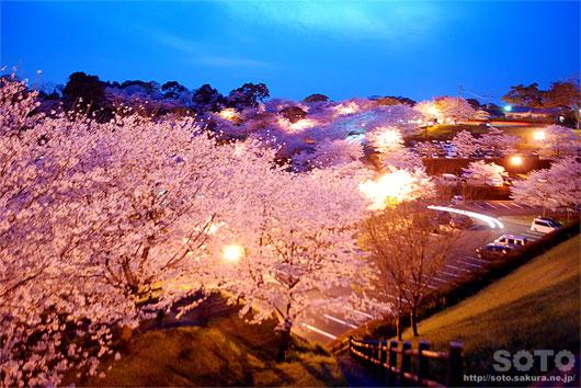 菊池の夜桜(1)