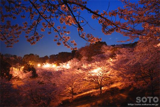 菊池の夜桜(2)