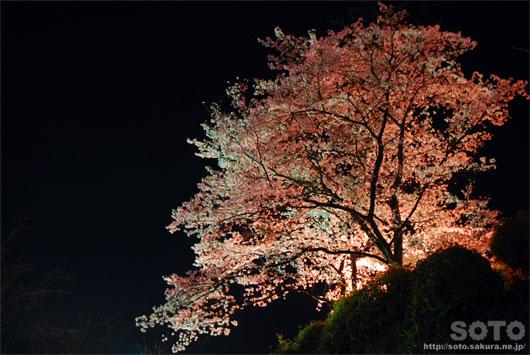 菊池の夜桜(4)