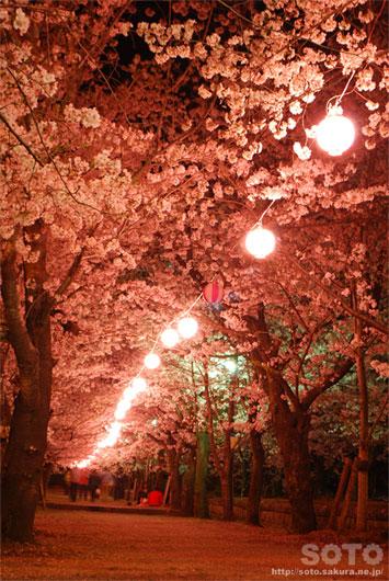 菊池の夜桜(8)