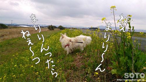 菜の花とマリリン(1)