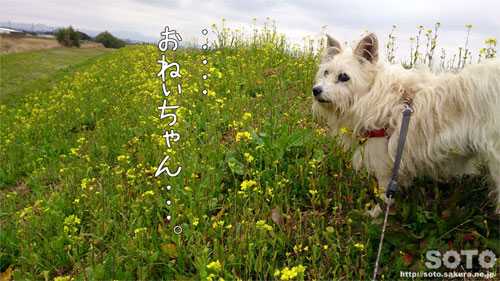 菜の花とマリリン(2)
