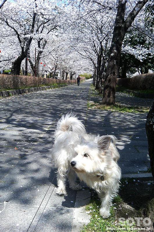 2008/04/03お花見