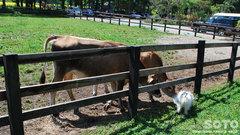 マリリンと牛