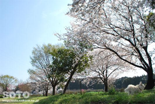 マリリンと桜