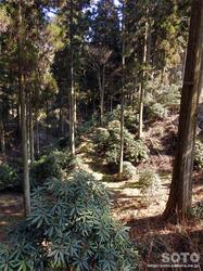 シャクナゲの森(1)