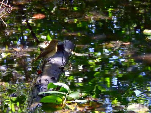 ウトナイ湖(野鳥1)