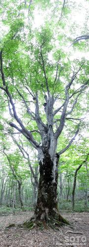 あっぴ高原遊々の森(マザーツリー)