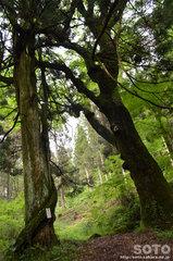 山吹水源(巨木)