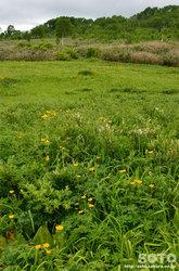 雨竜沼湿原(ミネヤナギ)