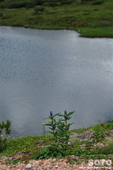 旭平周辺散策路(エゾオヤマリンドウの蕾)