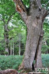 ポンホロ(巨木のウロ1)
