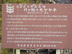 竹の熊の大欅(2)