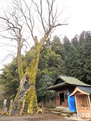 竹の熊の大欅(3)