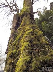 竹の熊の大欅(4)