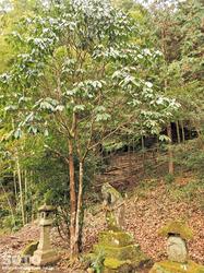 竹の熊の大欅(5)