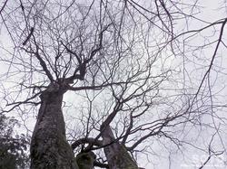 竹の熊の大欅(6)