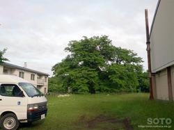 豊富ハルニレの木(2)